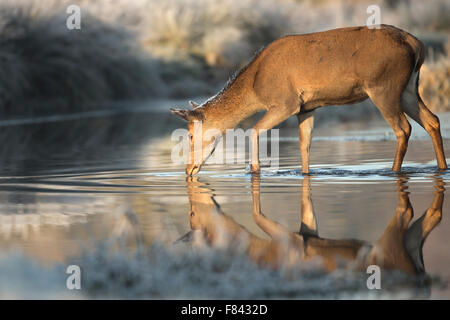 Red Deer hind l'eau potable Banque D'Images