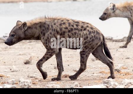 L'Hyène tachetée (Crocuta crocuta) - Etosha National Park, Namibie, Afrique Banque D'Images