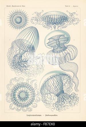 Leptomedusae: méduse Aequorea 1 Zygocanna diploconus in Pensilis, 2,3,5, beaucoup de méduses striées, Aequorea Banque D'Images