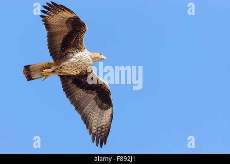 Aigle de Bonelli, adulte en vol, Tawi Atayr, Dhofar, Oman (Aquila fasciata) Banque D'Images