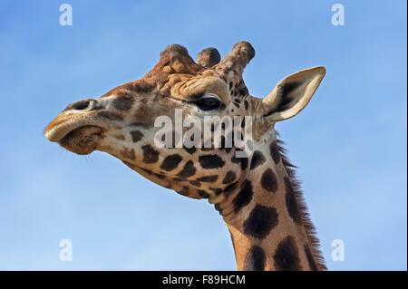 Girafe (Giraffa camelopardalis), close up of head against blue sky