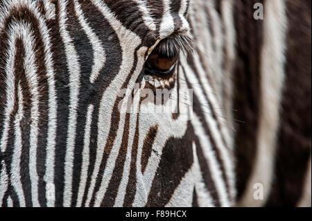 Le Zèbre de Grévy / imperial zebra (Equus grevyi) native du Kenya et l'Éthiopie, près de la tête jusqu'à rayures Banque D'Images