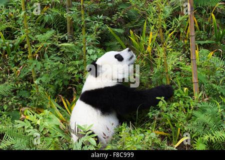 Les jeunes âgés de deux ans le panda géant (Ailuropoda melanoleuca), de la Chine et de Conservation Centre de recherche Banque D'Images