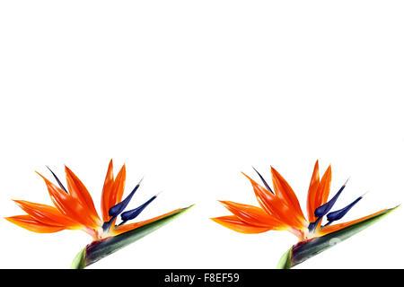 Deux oiseaux du paradis fleur sur fond blanc Banque D'Images