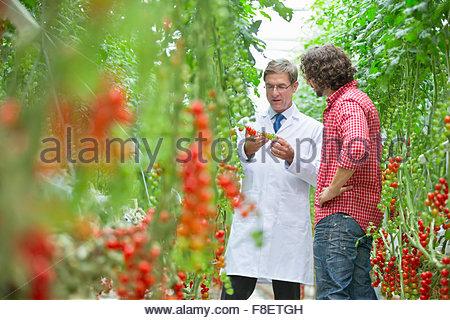 La tomate tomates m rir sur la vigne dans le jardin - L univers du jardin les rues des vignes ...