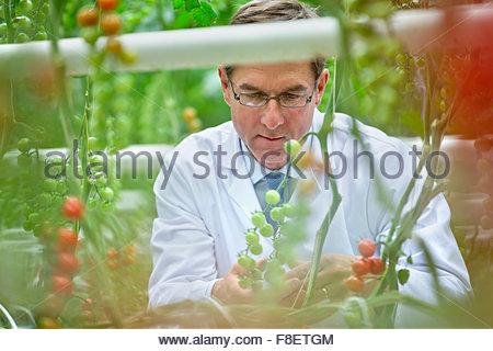 L'examen scientifique de l'alimentation de la vigne sur le mûrissement des tomates Banque D'Images