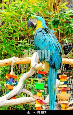 Une belle et longue-queue bleu-et-jaune Macaw (Ara ararauna), également connu sous le nom de bleu et or Macao, debout Banque D'Images