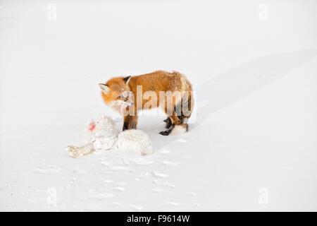 Le renard roux (Vulpes vulpes) manger un renard arctique (Alopex lagopus) il a tué, Cape Churchill, Parc National Banque D'Images