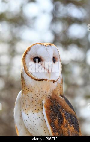 Effraie des clochers, Tyto alba, captive, de Fort Whyte, Manitoba, Canada Banque D'Images