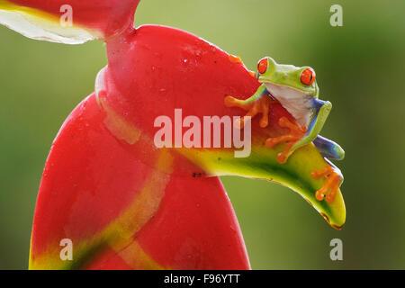 Redeyed grenouille d'arbre perché sur une branche au Costa Rica, Amérique centrale. Banque D'Images