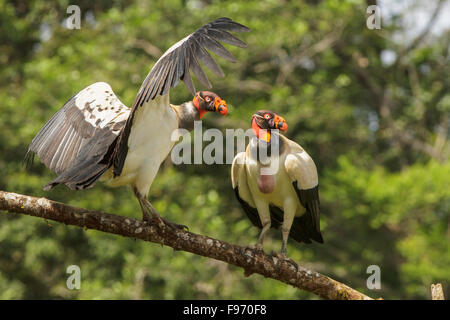 Vautour pape (Sarcoramphus papa) perché sur une branche au Costa Rica. Banque D'Images