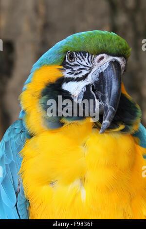 Blue and Gold Macaw. L'Ara bleu. Ara ararauna. Royaume des oiseaux, Niagara Falls, Ontario, Canada. Banque D'Images