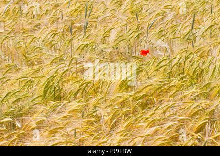 Coquelicot (Papaver rhoeas), fleurs simples dans une culture de blé dur (Triticum durum). Causse de Gramat, Lot, France. Mai.