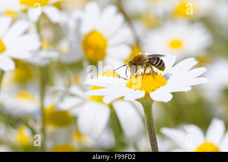 Bare-sellé Colletes ou Plâtrier Bee (Colletes similis) mâle adulte se nourrit de Stinking Camomille (Anthemis cotula) Banque D'Images