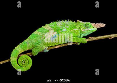 Fischer's chameleon (Kinyongia fischeri ) Banque D'Images