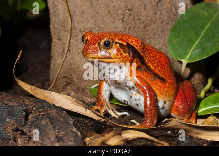 Le sud de grenouille Tomate, tomates fausse Grenouille, Südlicher Tomatenfrosch Tomaten-Frosch, Gefleckter Dyscophus Banque D'Images