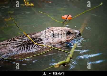 Close up of castor eurasien / castor européen (Castor fiber) natation avec succursale en bouche pour den / lodge