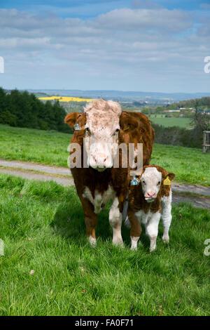Bovins Hereford Herefordshire Veau et vache; Royaume-Uni;