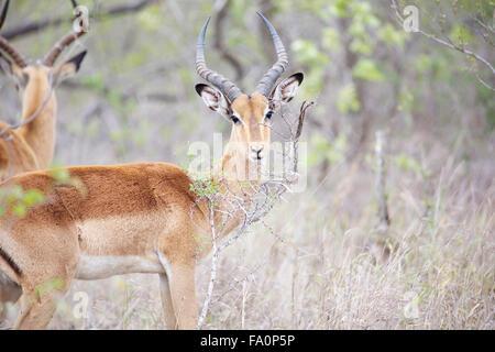 Deux hommes 501 dans le Parc National Kruger
