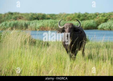 Buffalo (Syncerus caffer caffer) sur la rive de la rivière du Nil, Murchison Falls National Park, de l'Ouganda Banque D'Images