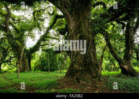 De grands arbres sur la montagne de balle, forêt Harenna Banque D'Images