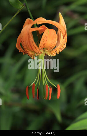 Colombie-britannique Tiger Lily (Lilium columbianum, fleurs), Cambridge, UK. Banque D'Images