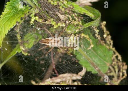 Pêche fantastique Spider, Spider web, pépinière, Listspinne List-Spinne Raubspinne Brautgeschenkspinne, Pisaura Banque D'Images