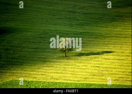 Seul arbre dans un champ vert, Obwalden, Suisse Banque D'Images
