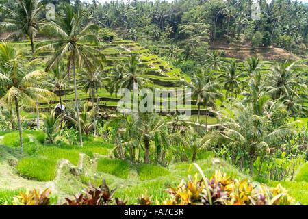 Les terrasses de riz de Tegalalang près de Ubud, Bali, Indonésie Banque D'Images