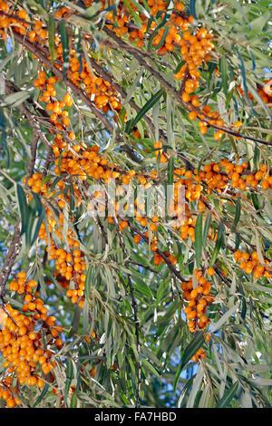 Argousier les branches avec des fruits. Nom scientifique: Hippophae rhamnoides.