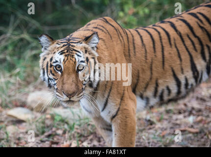Tigre du Bengale Royal Banque D'Images