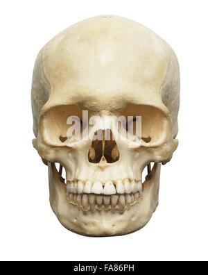 Crâne humain, vue avant Banque D'Images