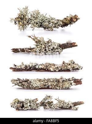 Ensemble de lichen sur une branche, fond blanc Banque D'Images