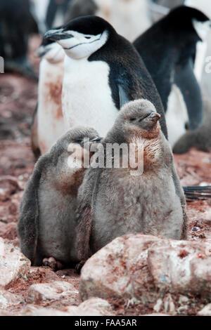 Jugulaire Penguin famille avec deux poussins, (Pygoscelis antarcticus), Hannah Point, péninsule antarctique. Banque D'Images