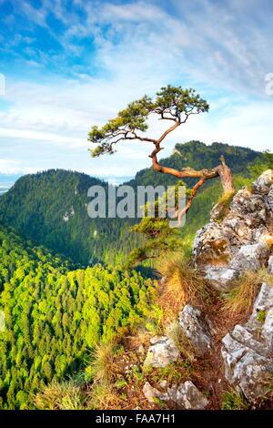 Seul pin à Sokolica Parc National de Pieniny falaise au coucher du soleil, Pologne Banque D'Images