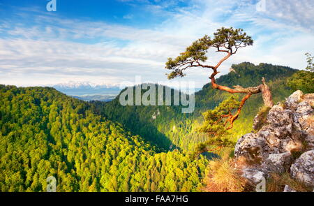 Seul Pin unique au Parc National de Pieniny Mountains, Pologne Banque D'Images