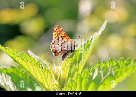Duc de Bourgogne Fritillary Butterfly Hamearis lucina lézarder au soleil Banque D'Images