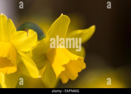 Narcisse jonquille Tete A Tete. Banque D'Images