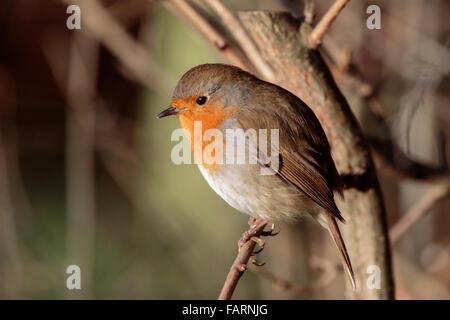 Rougegorge familier Erithacus rubecula aux abords des profils perché dans un buisson Banque D'Images