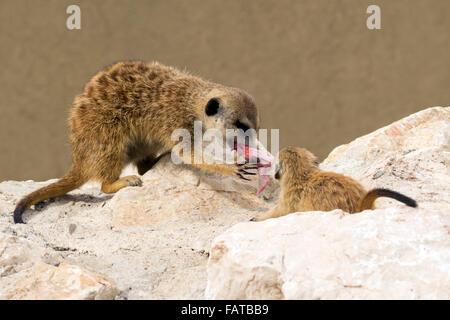 Les suricates (Suricata suricatta) lutte pour la nourriture Banque D'Images