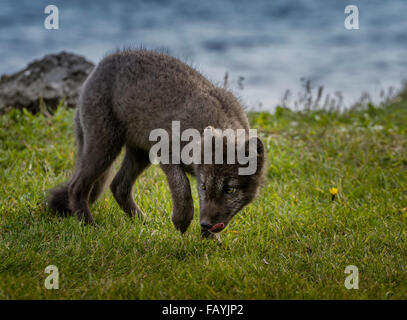 Portrait de renard arctique, Alopex lagopus, Islande Banque D'Images