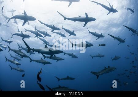 Sous-vue de requins soyeux rassembler au printemps pour l'accostage des rituels, Roca Partida, Revillagigedo, Mexique Banque D'Images