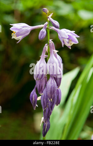Hosta 'Purple Lady Finger' Banque D'Images