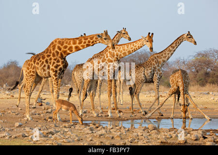Troupeau de Girafe (Giraffa camelopardalis) à un étang, Etosha National Park, Namibie Banque D'Images