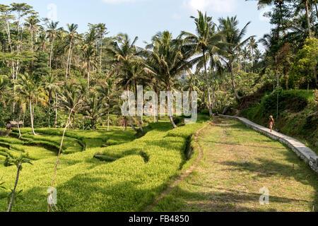 Terrasses de riz au Temple de Gunung Kawi, près de Tampaksiring Ubud, Bali, Indonésie Banque D'Images