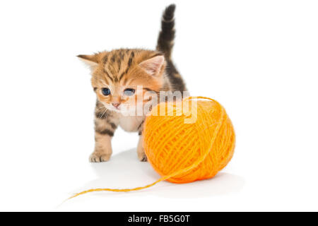 Striped British kitten playing avec pelote de laine, isolated on white