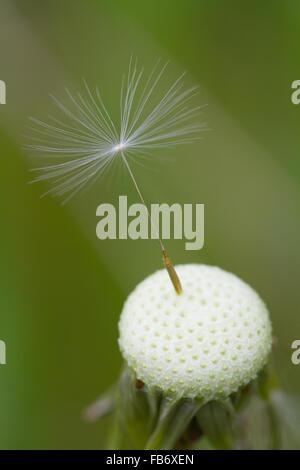 La dernière graine de pissenlit s'accroche à la tige. close up de tête de pissenlit et de semences. Banque D'Images
