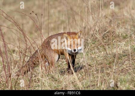 Le renard roux (Vulpes vulpes) furtivement autour des marais sur une banque. Banque D'Images