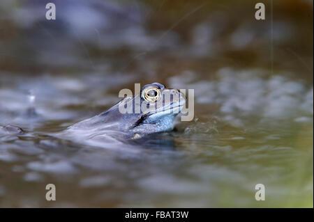 Des profils grenouille rousse (Rana temporaria) dans l'étang de jardin en douche de pluie, en avril 2013, Bentley, Banque D'Images