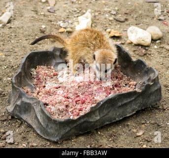 Baby meerkat (Suricata suricatta) émincé de manger la viande de porc (masse) Banque D'Images